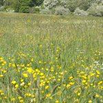 Buttercups Large Meadow 01