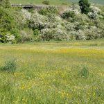 Buttercups Large Meadow 02