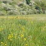 Buttercups Large Meadow