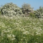Carpet of Cow Parsley