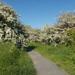 Hawthorn in full bloom 01