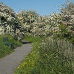 Hawthorn in full bloom 02