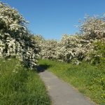 Hawthorn in full bloom 03