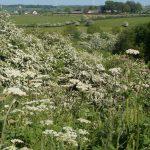 Scrambles Summer Hedgerow
