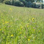 Wildflowers Small Meadow