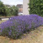 Lavender Bed Broomside Lane
